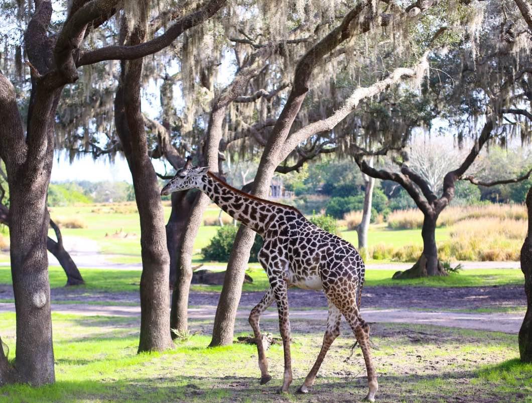 Giraffe Animal Kingdom - Holiday Attractions in Orlando by Atlanta travel blogger Happily Hughes